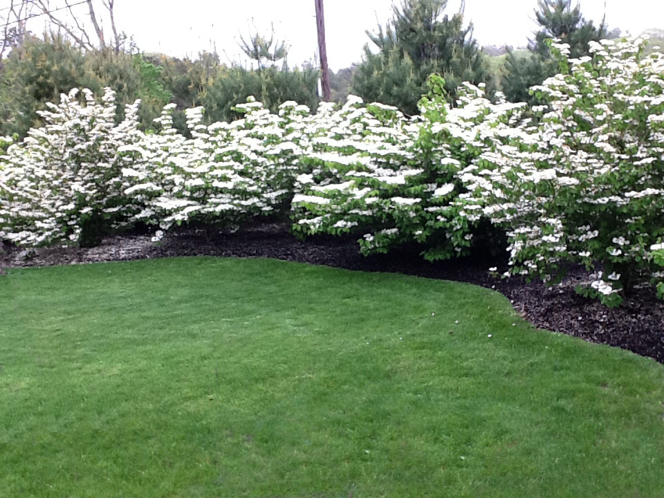 Pretty white flowering bushes